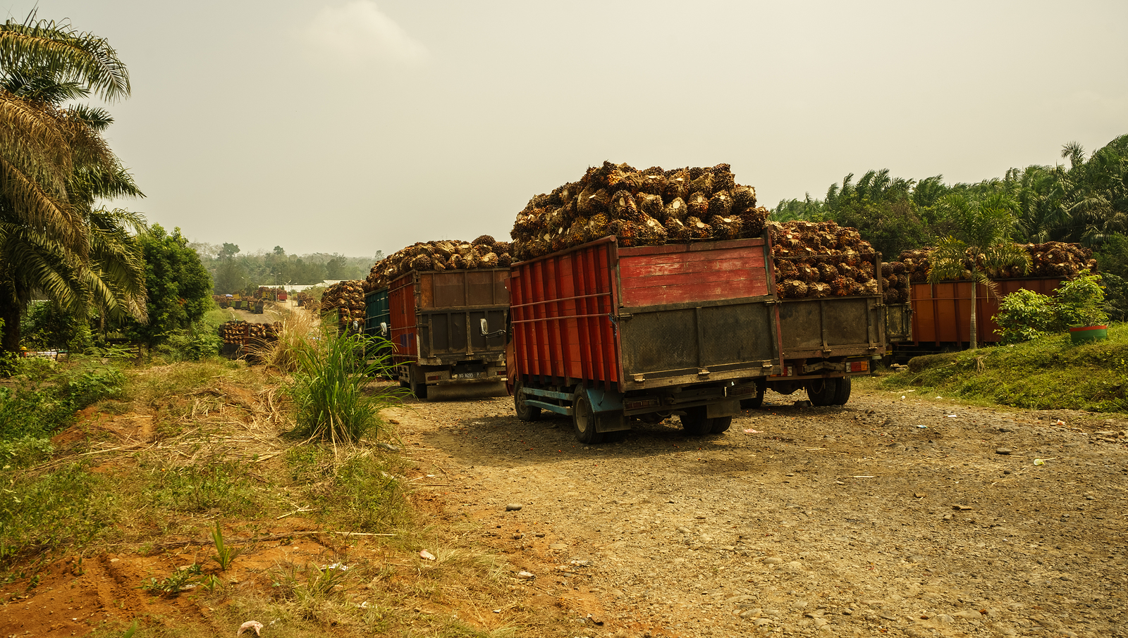 Palm oil fruit driven away for proessing
