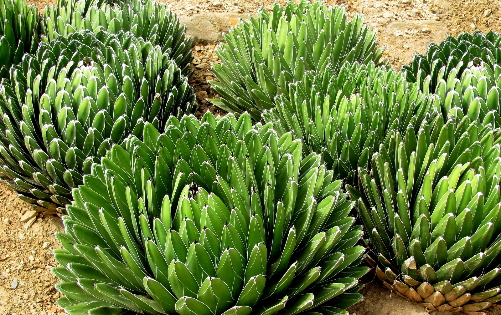 The plant is more commonly used in the manufacture of tequila