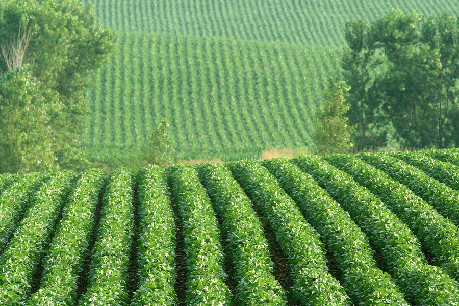 Soybean cultivation on a hillside