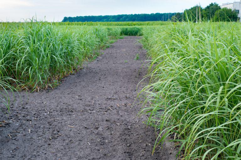 A switchgrass field