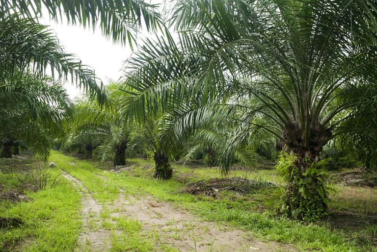 Indonesia and Malaysia are the largest producers of palm oil