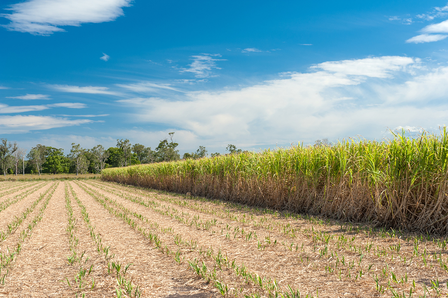 A partially harvested sugarcane field