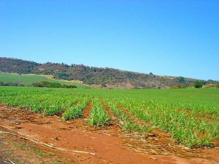 A baby sugarcane field in Sao Paulo