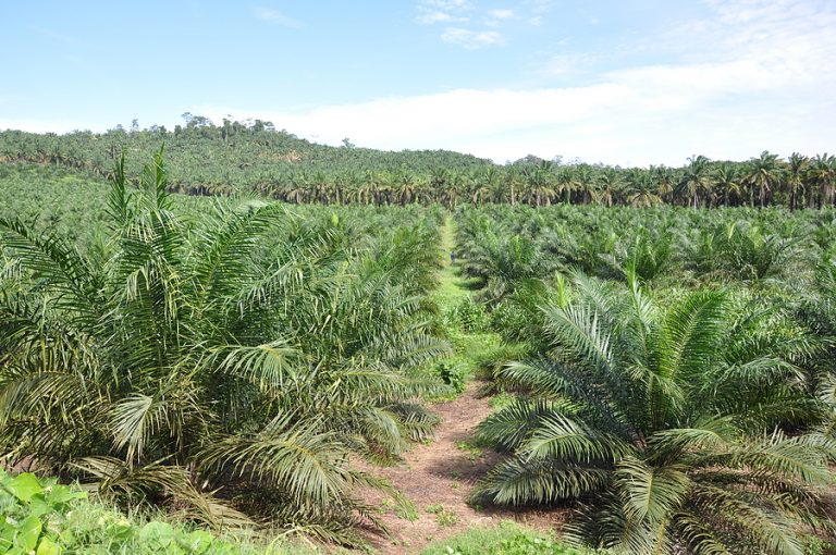 Young palm oil crop