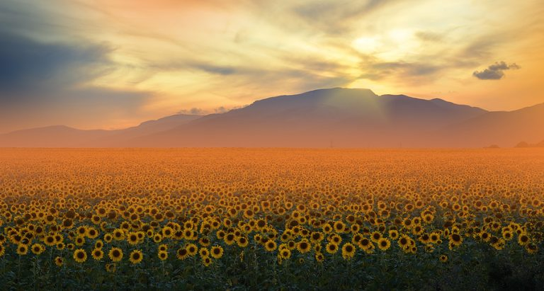 A sunflower field at dawn