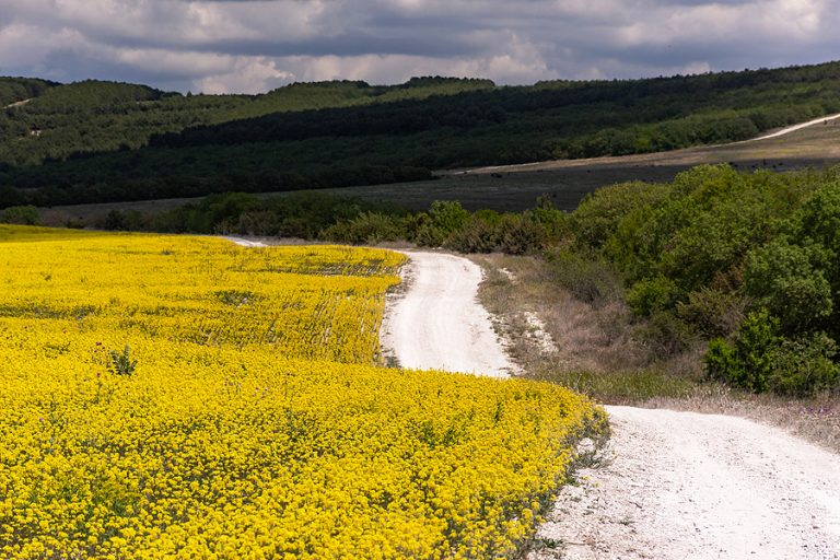 A rapeseed field