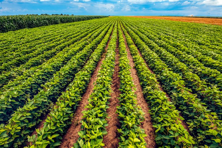 A soybean plantation