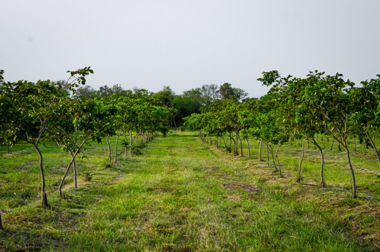 A Pongamia reforestation site