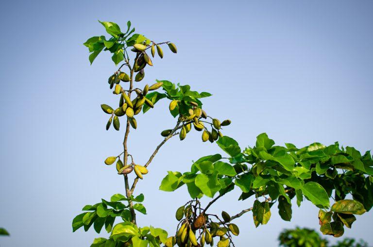Blockchain tracks 50 milion biofuel-producing Pongamia trees through new partnership