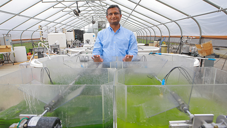 Dr Sridhar Viamajala, professor of chemical engineering at The University of Toledo, in the greenhouse where his team of researchers is growing algae to turn into biofuel